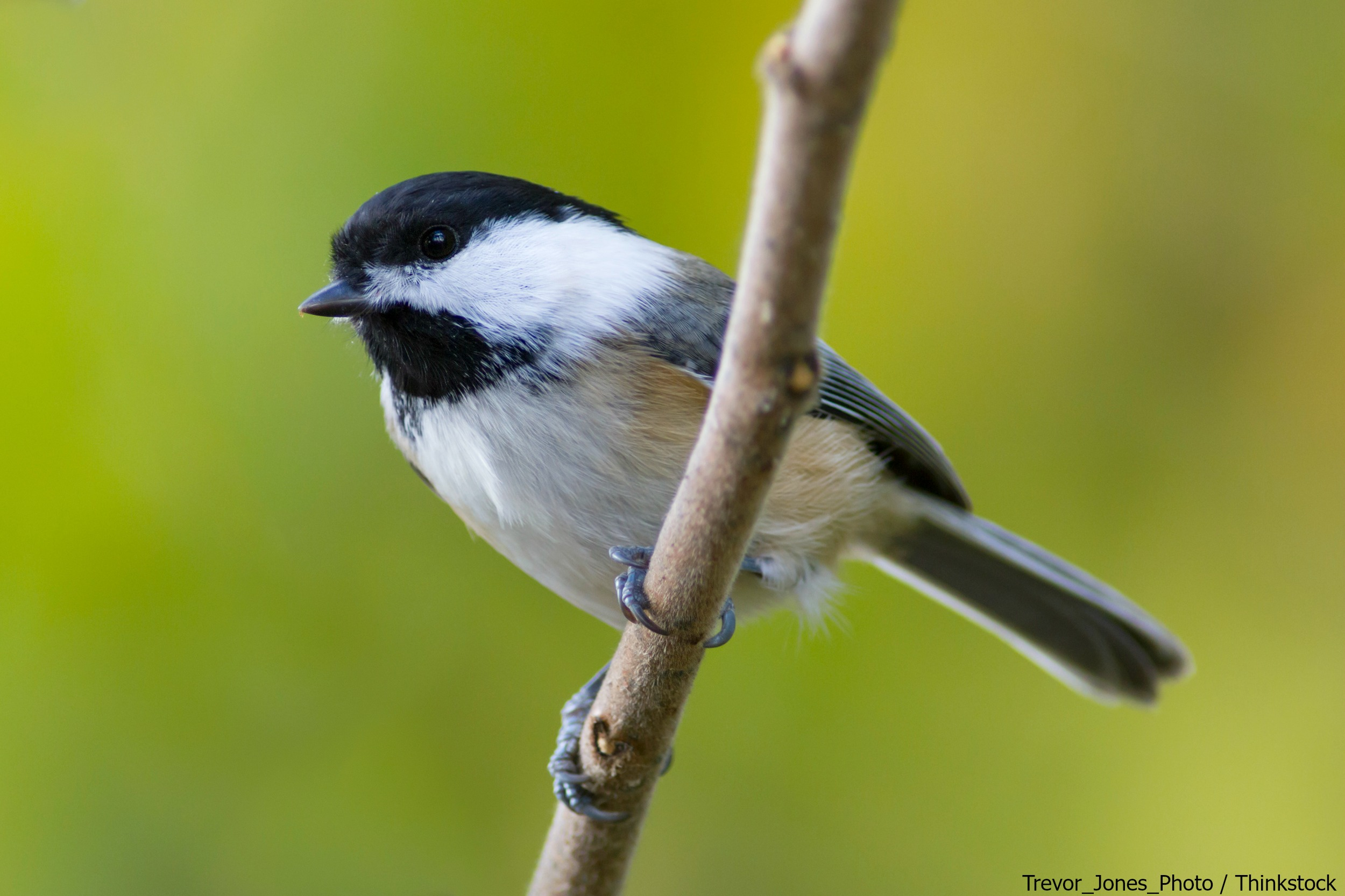 5 Famous Birds of Maine & How to Find Them